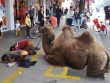Thanh niên dắt lạc đà bị tật quanh phố để xin tiền
