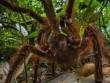 """Phát hiện nhện """"khổng lồ"""" lớn nhất thế giới"""