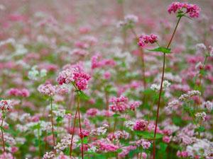 Giới trẻ rủ nhau lên Hà Giang ngắm hoa tam giác mạch