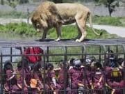 Độc đáo tour du lịch... sờ sư tử