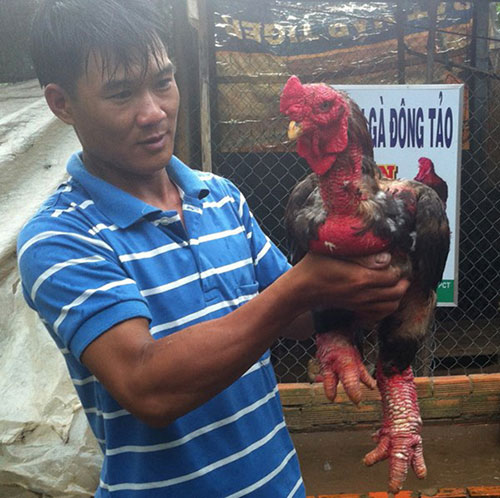 Chàng trai 8x thu nhập trăm triệu nhờ gà Đông Tảo