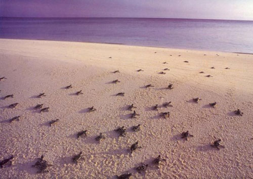 Côn Đảo: Mùa rùa con rộn ràng về với biển - 2