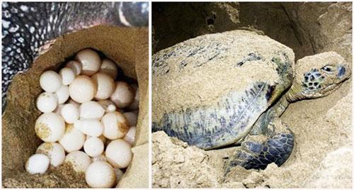 Côn Đảo: Mùa rùa con rộn ràng về với biển - 3
