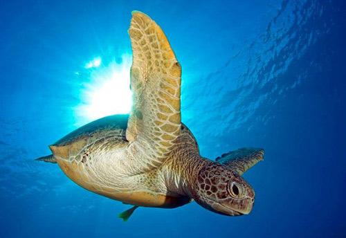 Côn Đảo: Mùa rùa con rộn ràng về với biển - 4