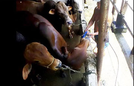 Kinh hãi bơm nước tăng trọng cho bò - 1