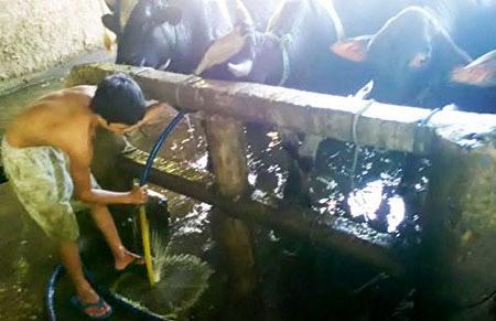 Kinh hãi bơm nước tăng trọng cho bò - 4