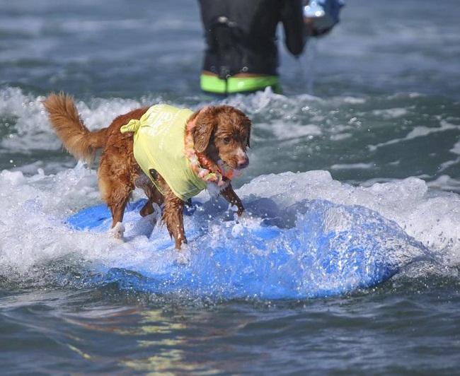 2 - Một chú chó trong cuộc thi lướt sóng cho cho lần thứ 9 ở California, Mỹ