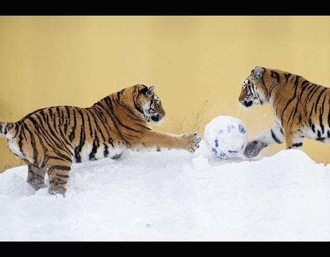 3 - Những chú hổ Amur chơi bóng đá ở Vườn thú Vienna
