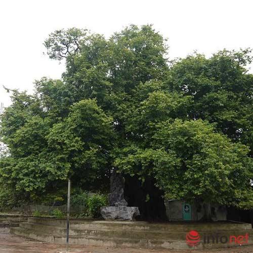 Chiêm ngưỡng cây thị nghìn tuổi ở Hà Nội - 1