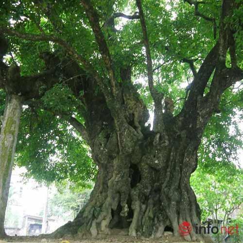 Chiêm ngưỡng cây thị nghìn tuổi ở Hà Nội - 2