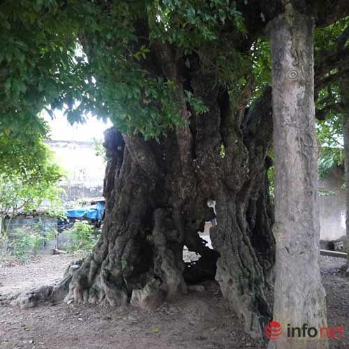 Chiêm ngưỡng cây thị nghìn tuổi ở Hà Nội - 3