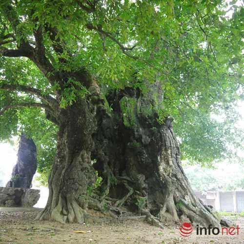 Chiêm ngưỡng cây thị nghìn tuổi ở Hà Nội - 4
