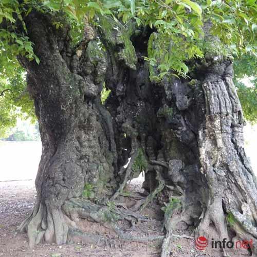 Chiêm ngưỡng cây thị nghìn tuổi ở Hà Nội - 5