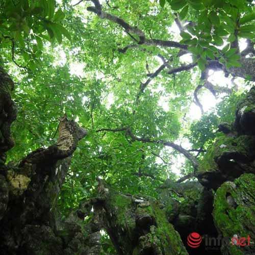 Chiêm ngưỡng cây thị nghìn tuổi ở Hà Nội - 6