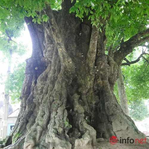 Chiêm ngưỡng cây thị nghìn tuổi ở Hà Nội - 7