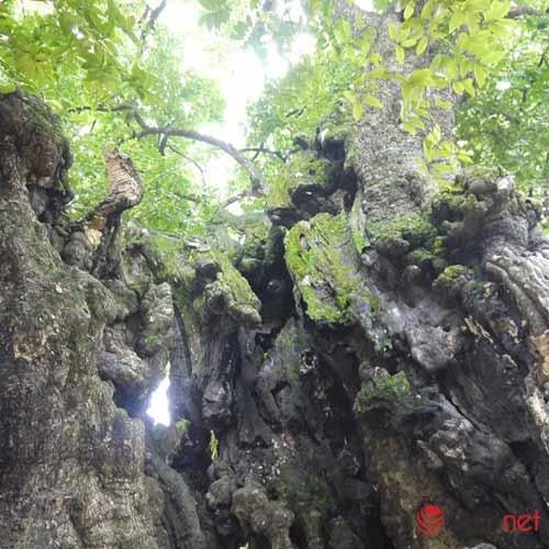 Chiêm ngưỡng cây thị nghìn tuổi ở Hà Nội - 8