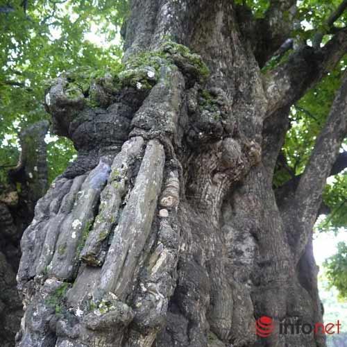 Chiêm ngưỡng cây thị nghìn tuổi ở Hà Nội - 9