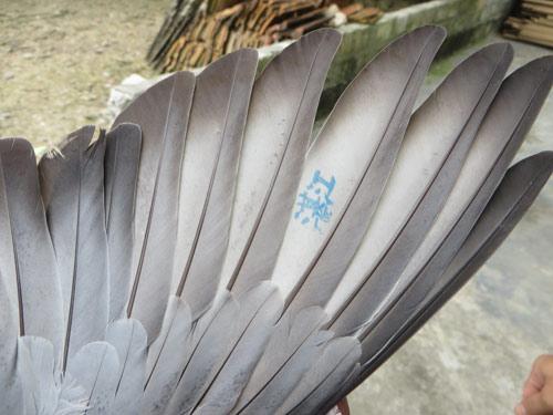 Bắt được chim bồ câu mang kí tự lạ ở Nghệ An - 2