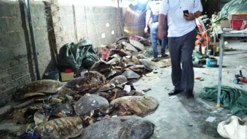 Phát hiện vụ chế tác rùa biển quý hiếm lớn nhất nước - 1