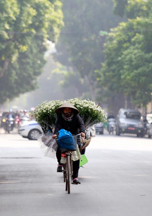 Cúc họa mi dịu dàng trên phố đông Hà Nội