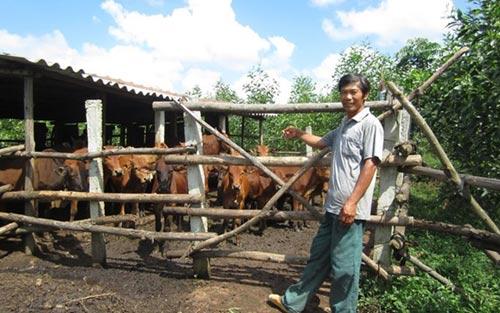 Lên núi trồng rừng, nuôi bò mà thành triệu phú - 1