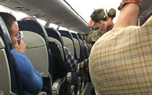 Lợn bị đuổi khỏi máy bay vì khiến hành khách sợ hãi - 1