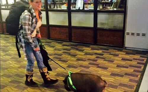 Lợn bị đuổi khỏi máy bay vì khiến hành khách sợ hãi - 2