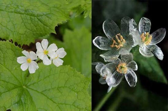 Ngắm loài hoa biến thành trong suốt khi trời mưa - 7