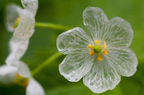 Ngắm loài hoa biến thành trong suốt khi trời mưa - 2