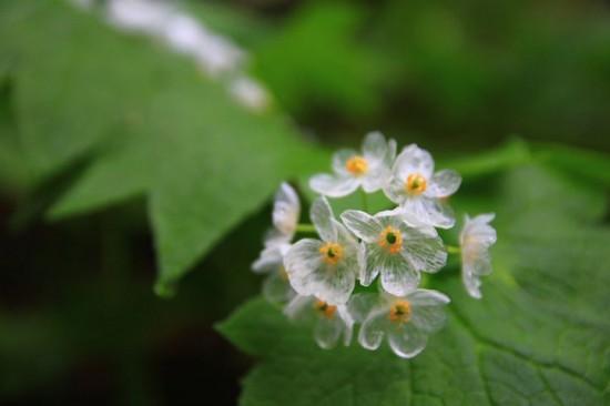Ngắm loài hoa biến thành trong suốt khi trời mưa - 4