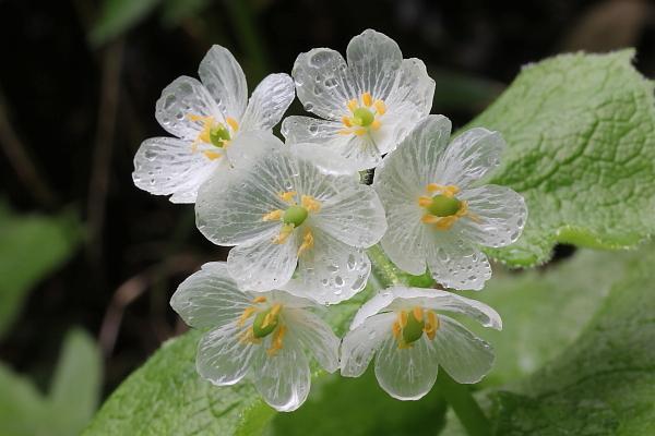 Ngắm loài hoa biến thành trong suốt khi trời mưa - 3