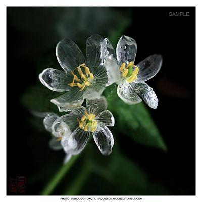 Ngắm loài hoa biến thành trong suốt khi trời mưa - 5