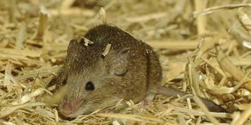 Dịch hạch: Ăn thịt chuột có nhiễm bệnh? - 1