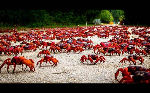 Ảnh đẹp: Cua đỏ di cư trên đảo Giáng sinh - 3