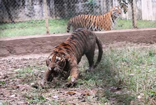 """""""Đột nhập"""" trại nuôi hổ lớn nhất ở Thanh Hóa - 9"""