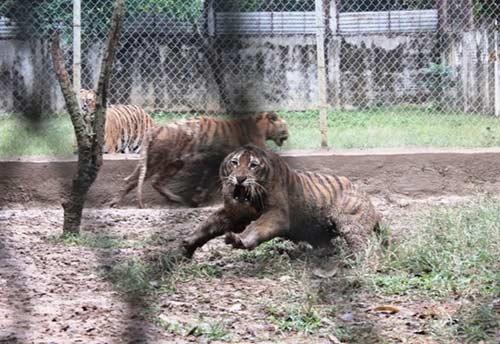 """""""Đột nhập"""" trại nuôi hổ lớn nhất ở Thanh Hóa - 10"""