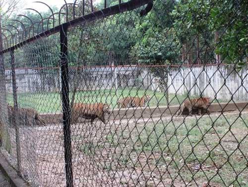 """""""Đột nhập"""" trại nuôi hổ lớn nhất ở Thanh Hóa - 1"""