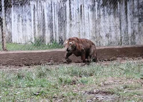 """""""Đột nhập"""" trại nuôi hổ lớn nhất ở Thanh Hóa - 8"""