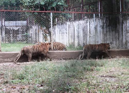 """""""Đột nhập"""" trại nuôi hổ lớn nhất ở Thanh Hóa - 2"""