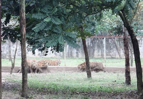 """""""Đột nhập"""" trại nuôi hổ lớn nhất ở Thanh Hóa - 6"""