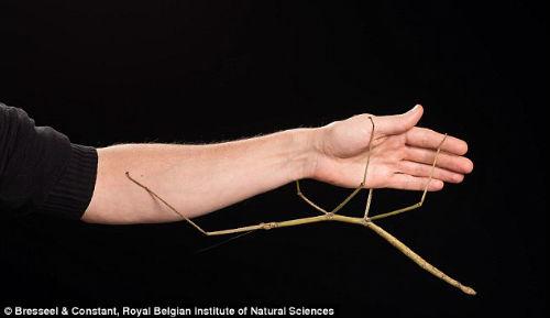 Phát hiện côn trùng có hình như cành cây ở Việt Nam - 2