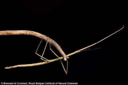 Phát hiện côn trùng có hình như cành cây ở Việt Nam - 3