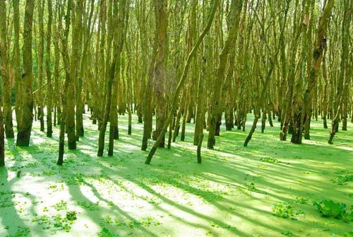 Rừng tràm Trà Sư, tấm thảm xanh dịu mát miền Tây - 1