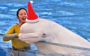 Ảnh đẹp: Cá tầm trắng đội mũ ông già Noel