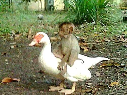 Cảm động tình bạn sâu đậm tới chết của khỉ và ngỗng - 1