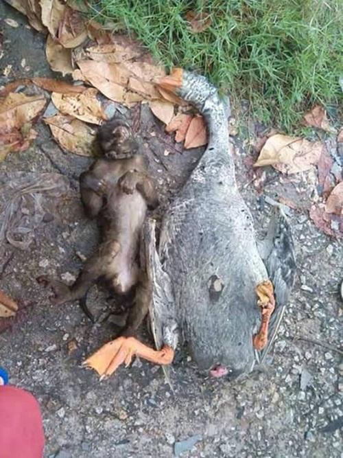 Cảm động tình bạn sâu đậm tới chết của khỉ và ngỗng - 3
