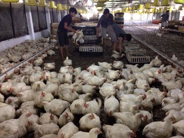 Vụ khởi kiện gà Mỹ bán phá giá: Chi phí có thể tới 10 tỷ đồng - 1
