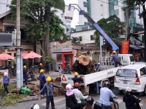 """Tin tức trong ngày - Cổ thụ bật gốc giữa Sài Gòn, giao thông """"tê liệt"""""""