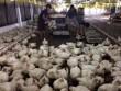 Vụ khởi kiện gà Mỹ bán phá giá: Chi phí có thể tới 10 tỷ đồng