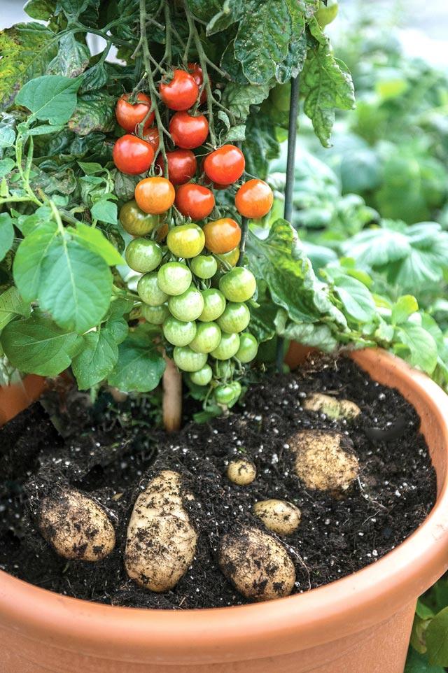 """Đã mắt ngắm cây """"đẻ"""" ra cả khoai tây lẫn cà chua - 1"""